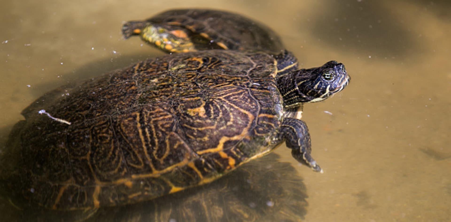 Recomiendan regular la importación de tortugas exóticas por su potencial invasor