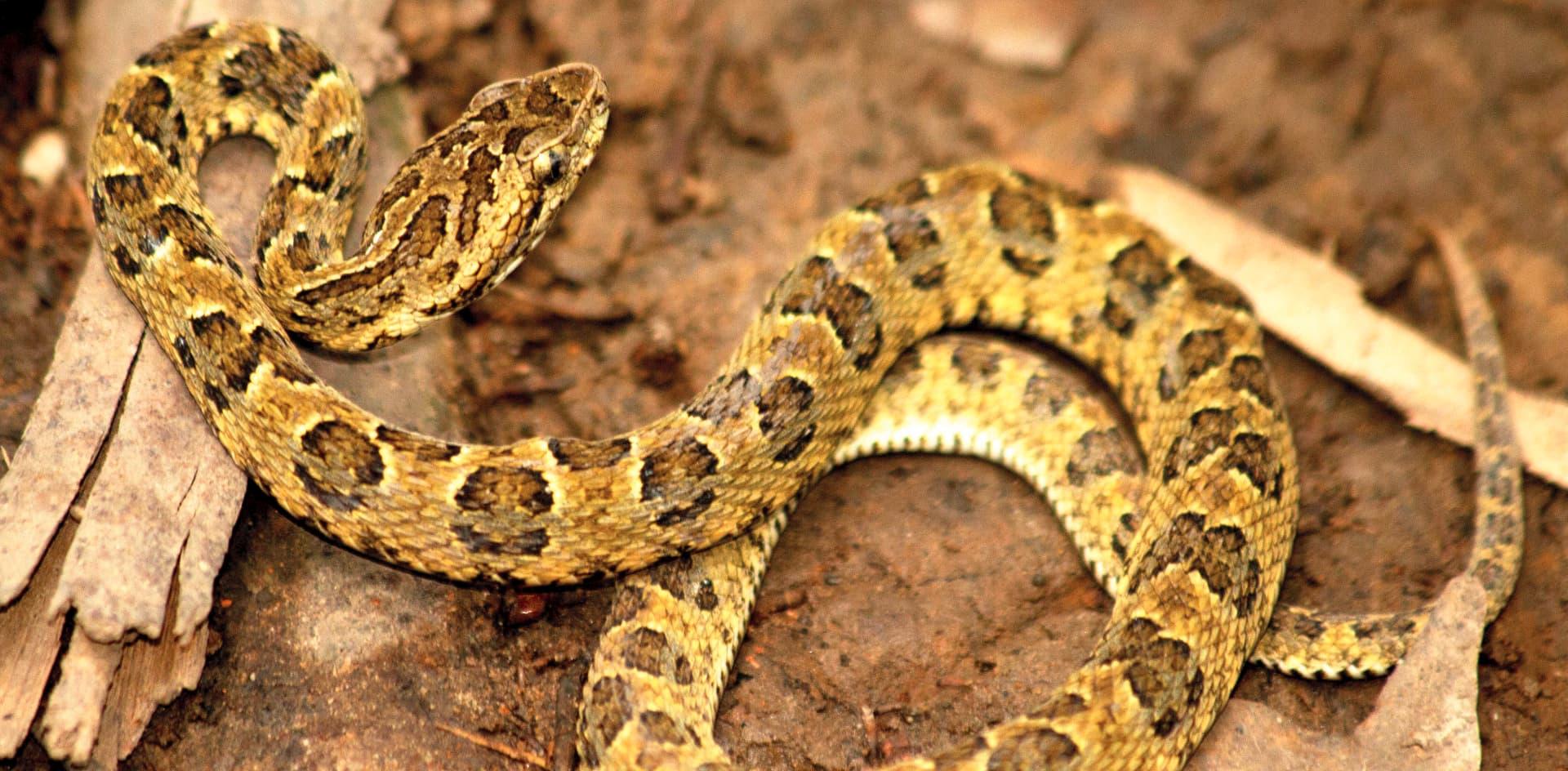 Descubren una nueva especie de serpiente yarará en una reserva natural peruana