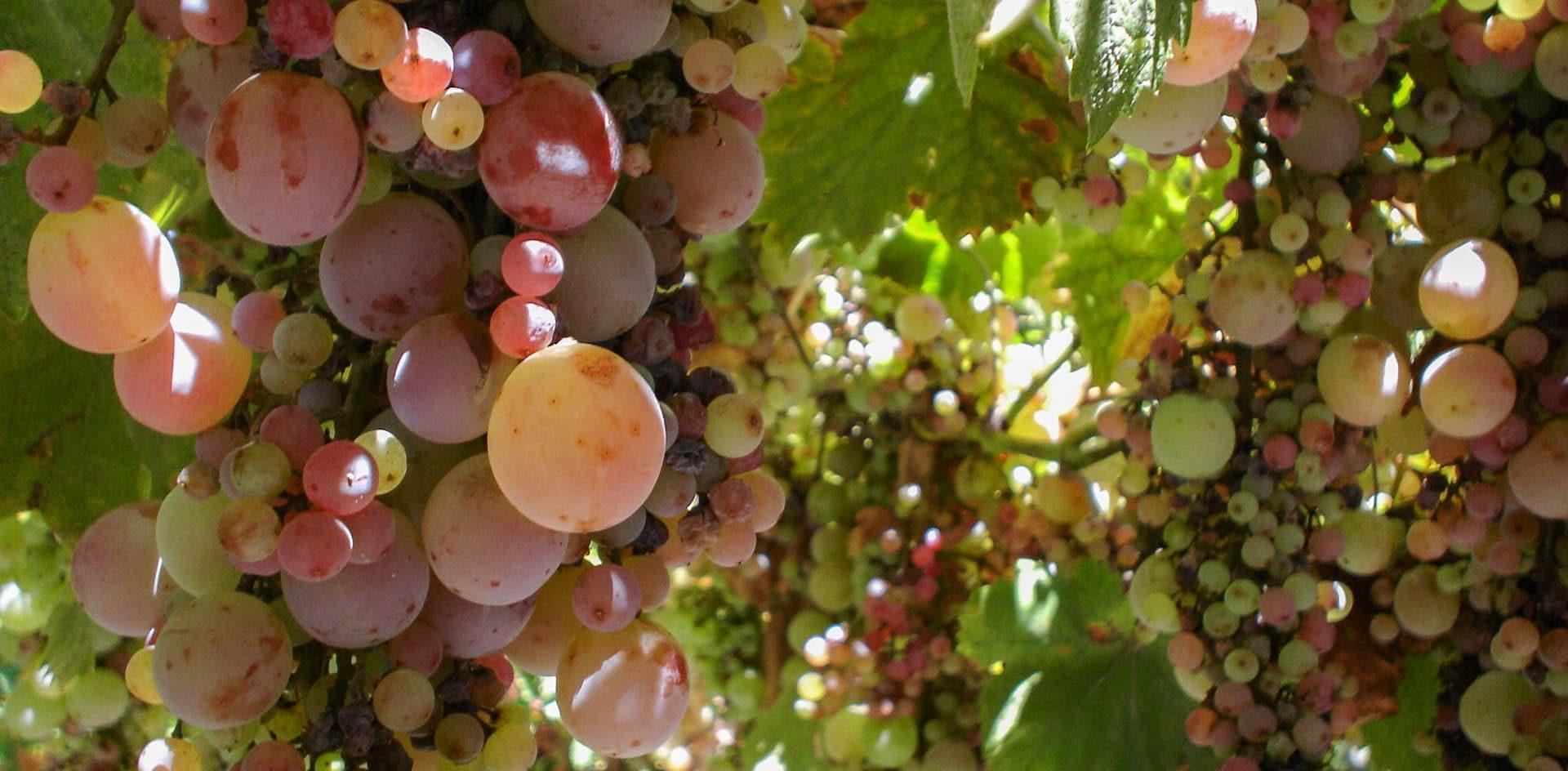 Desarrollan un bioinsecticida para controlar una plaga que afecta a los viñedos