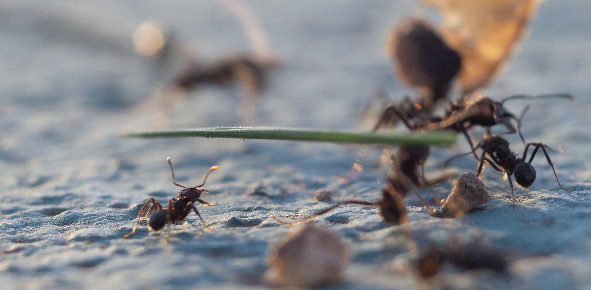 Qué podemos aprender de las hormigas para protegernos del coronavirus