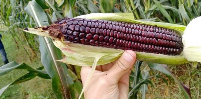 Crean la primera variedad de maíz morado adaptada en Argentina