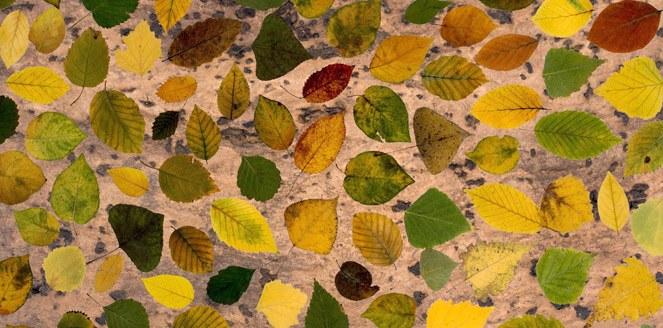 Resuelven el misterio del tamaño de las hojas